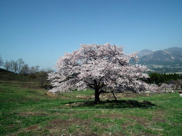 2011年4月12日阿蘇・・桜0280.JPG