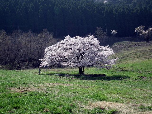 2011年4月12日阿蘇・・桜0281.JPG