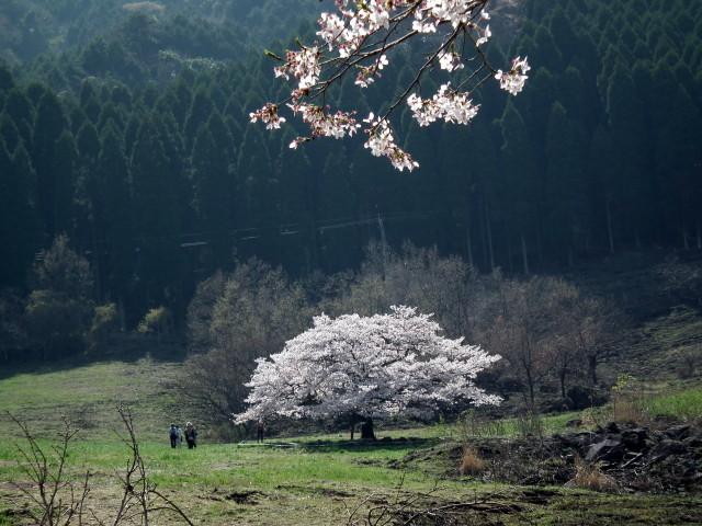 2011年4月12日阿蘇・・桜0287.JPG