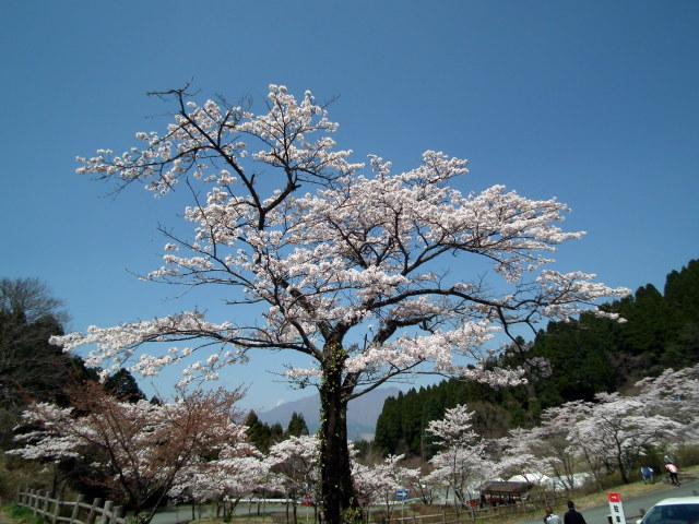 2011年4月12日阿蘇・・桜0288.JPG