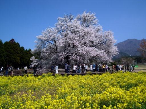 2011年4月12日阿蘇・・桜0307.JPG