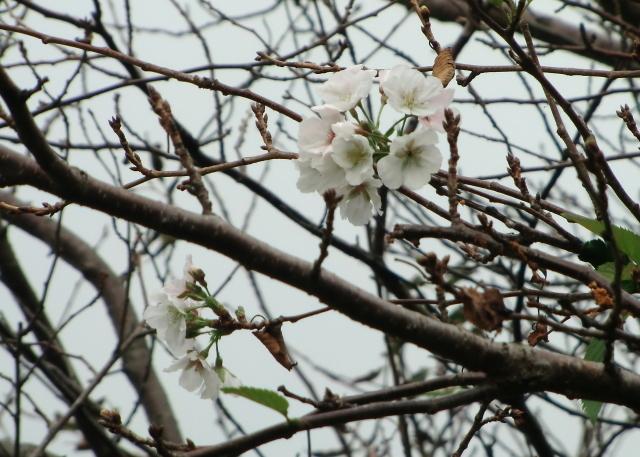 さくら開花?0028.jpg