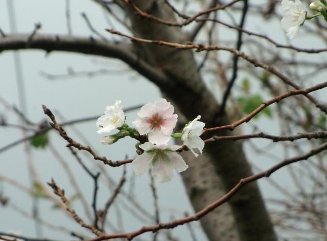 さくら開花?0029.jpg