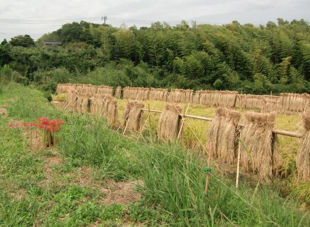 稲刈り0016 (2).JPG