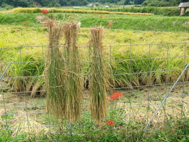 稲刈り0032.JPG