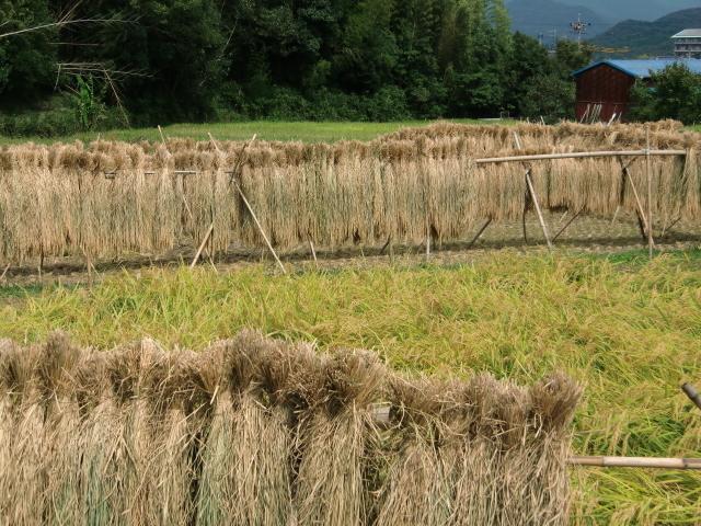 稲刈り0034.JPG
