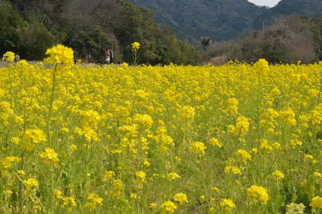 菜の花畑0026.JPG