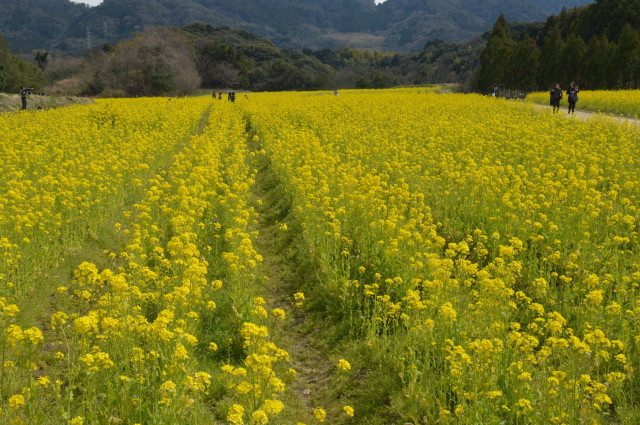菜の花畑0029.JPG