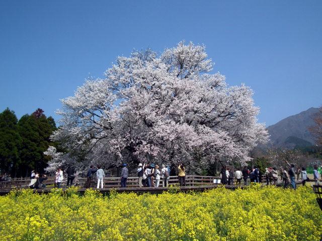 2011年4月12日阿蘇・・桜0261.JPG
