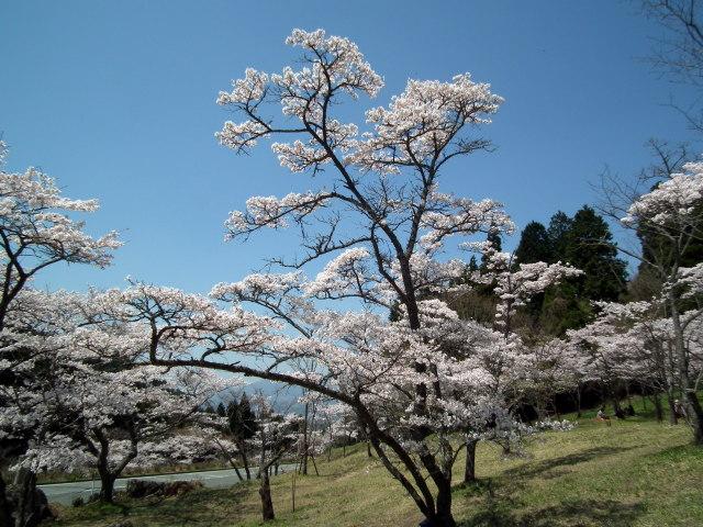 2011年4月12日阿蘇・・桜0276.JPG