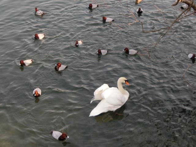 白鳥0005.JPG