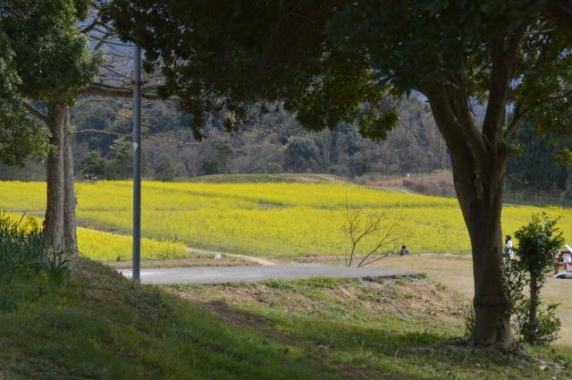 菜の花畑0025.JPG